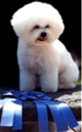 Bichon Frise of the California Wine Country